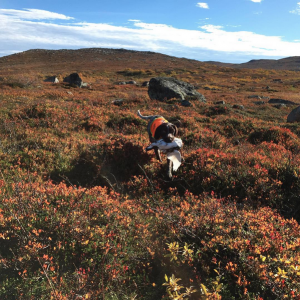 Alot retrieving grouse
